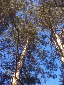 Soaring Pines That Sing